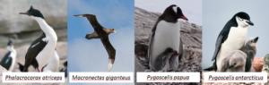 Four antarctic bird species