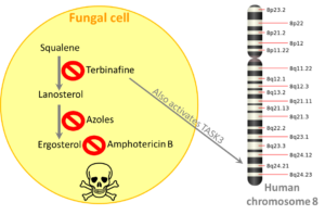 Different steps of the fungal ergosterol pathway are targeted by different antifungals, including amphotericin B, azoles and terbinafine.